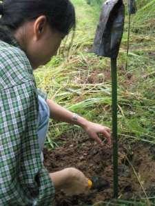 khadira-in-planting